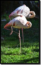 Pelicane