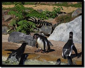 Pinguin-Fütterung