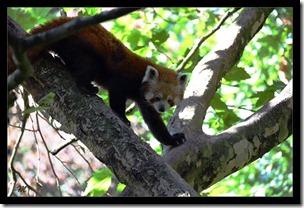 Roter-Panda
