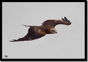 Adler-im-Flug