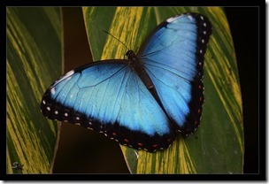 blauerSchmetterling