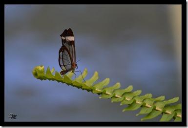 durchsichtiger-Schmetterlin