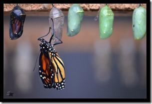 Schmetterlingsgeburt